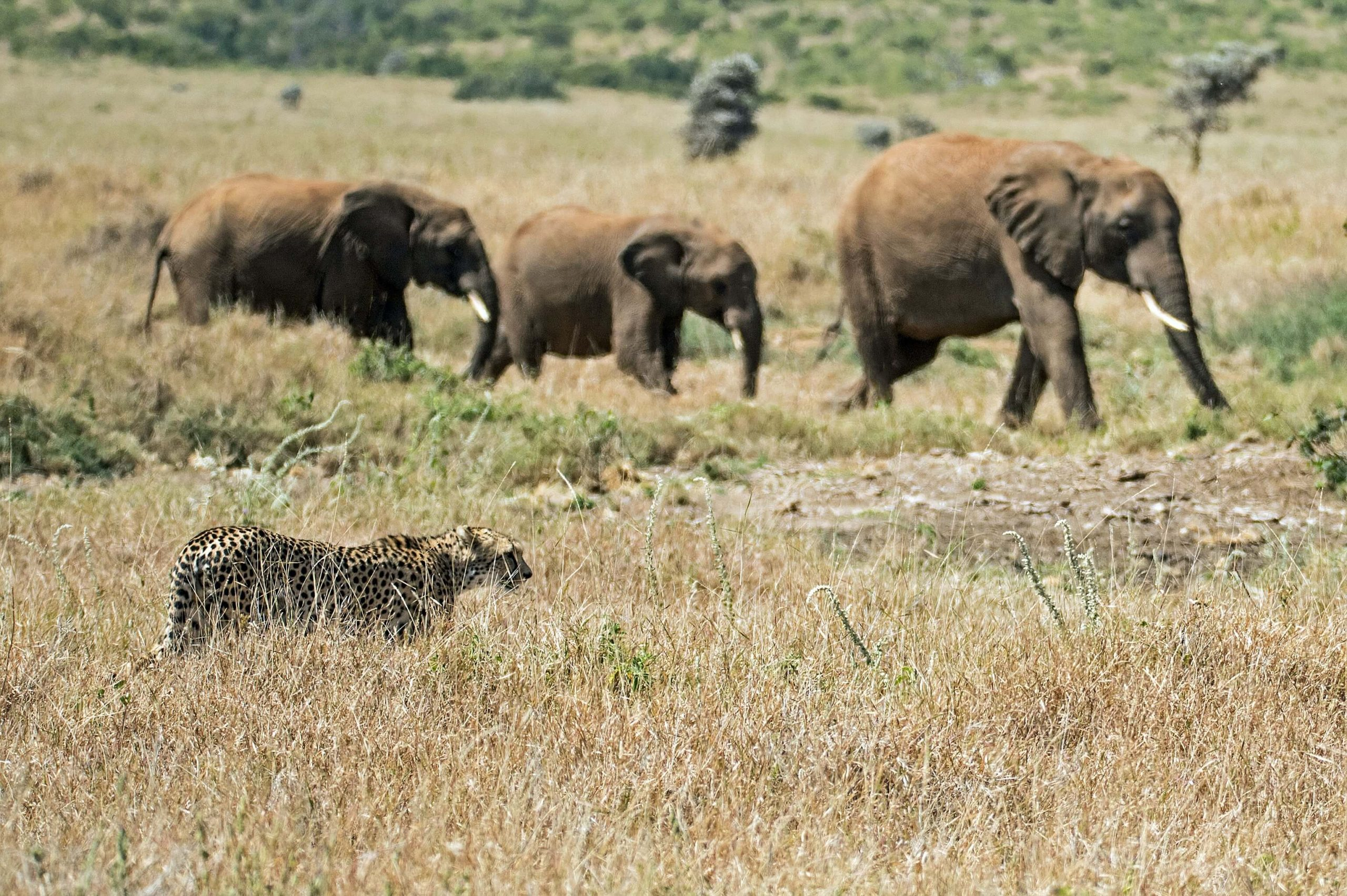 African elephant with cheetah