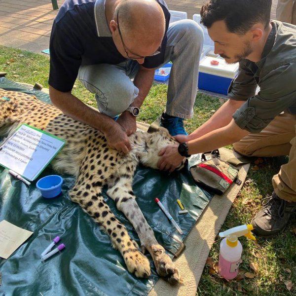 Cheetah health check by vet