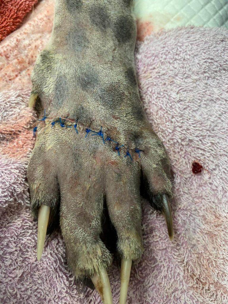 Stitched wound on cheetah paw
