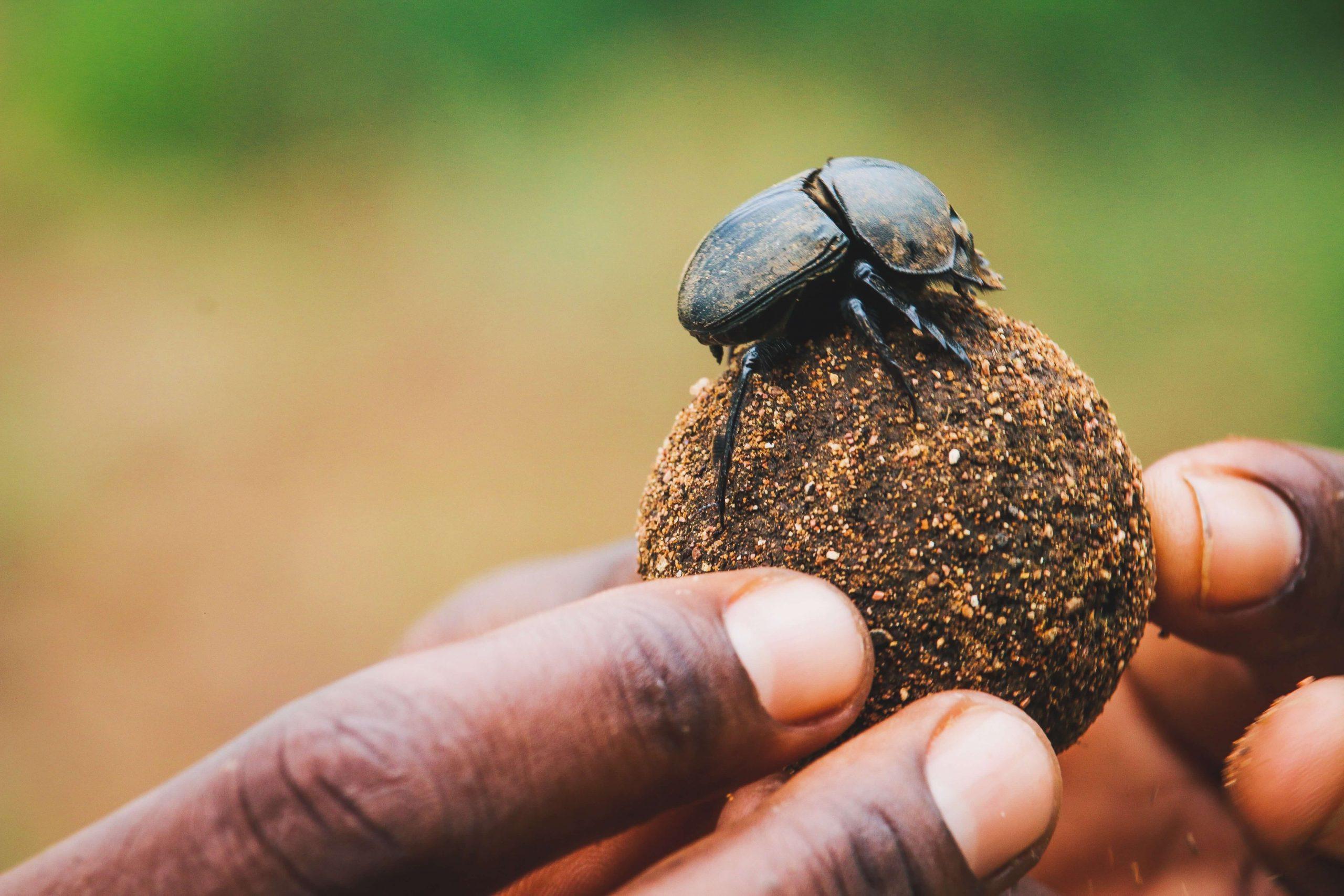 Dung beetle on dung ball