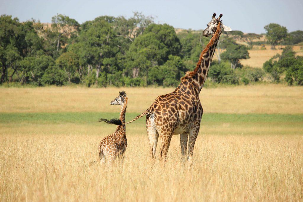 giraffe with offspring
