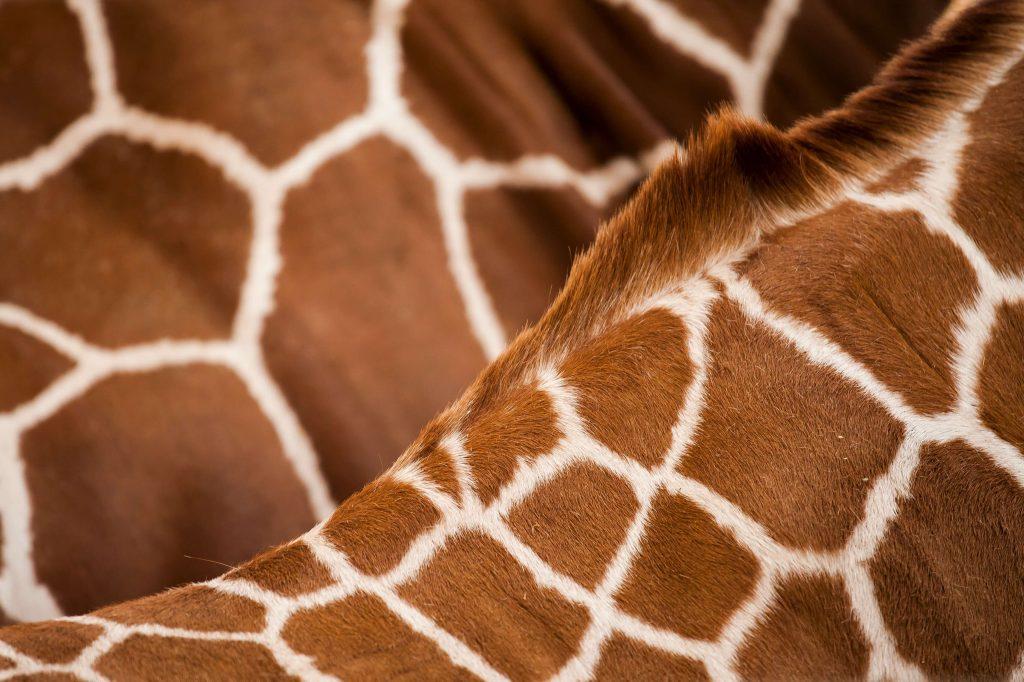 giraffe patches