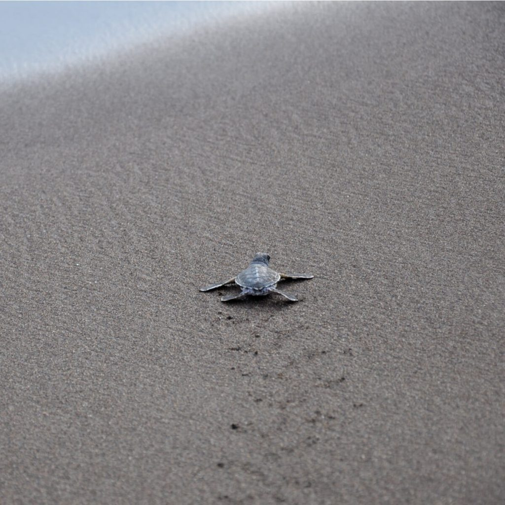 turtle hatchling heading out to sea