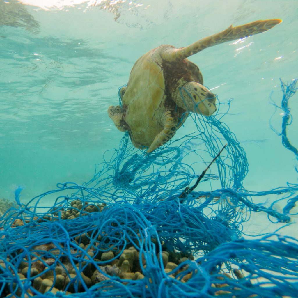 Green turtle caught in discarded fishing net